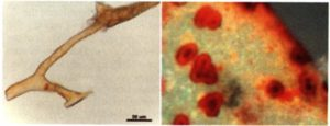 Images of flexible blood vessels (left) and red blood cells within them (right)